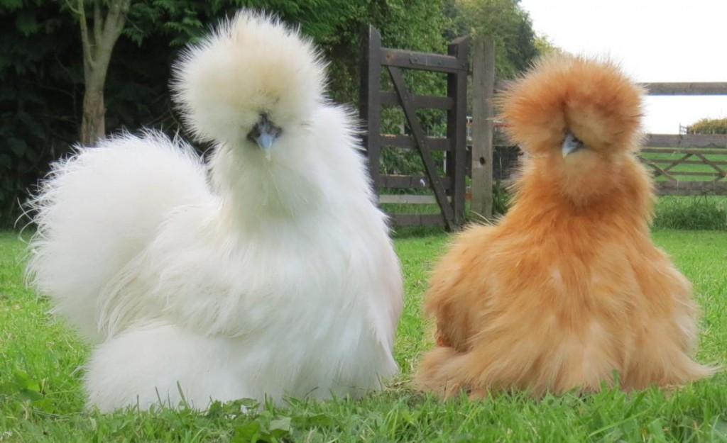 Svilena kokoš