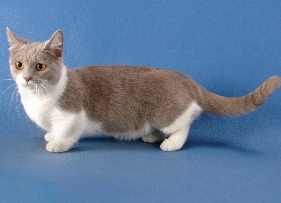 Munchin mačka