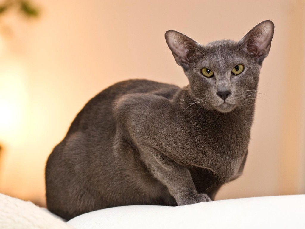 Orientalska mačka