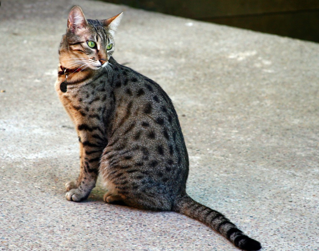 Egiptovska mau mačka