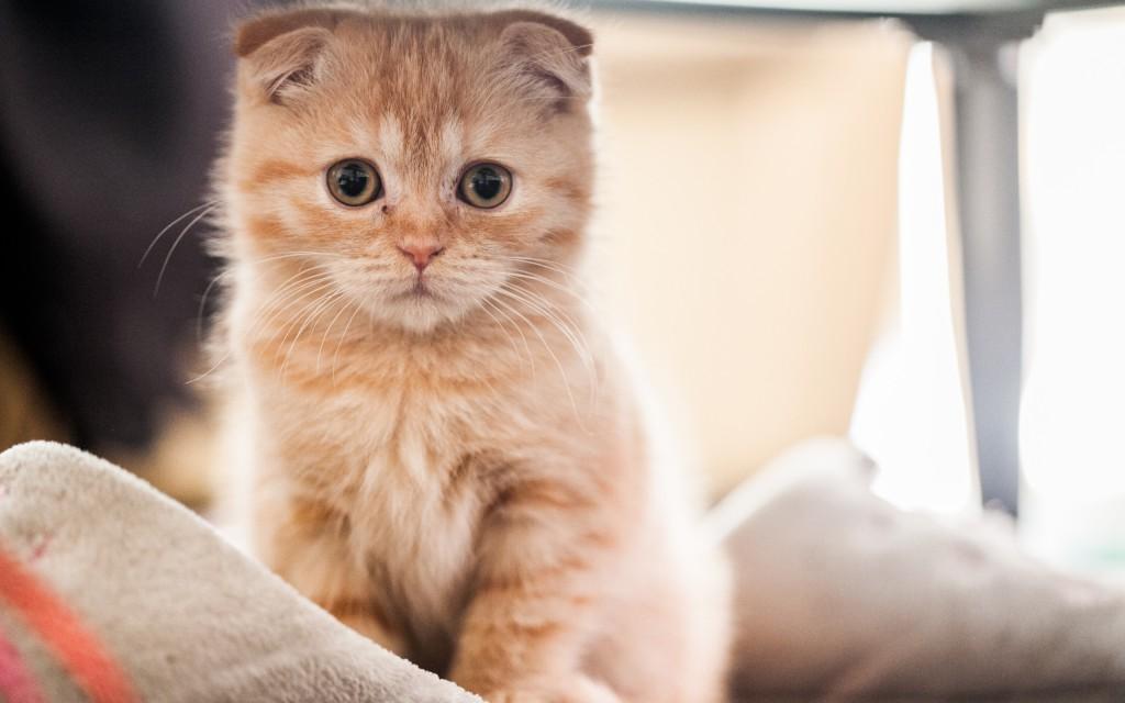 Škotska klapava mačka
