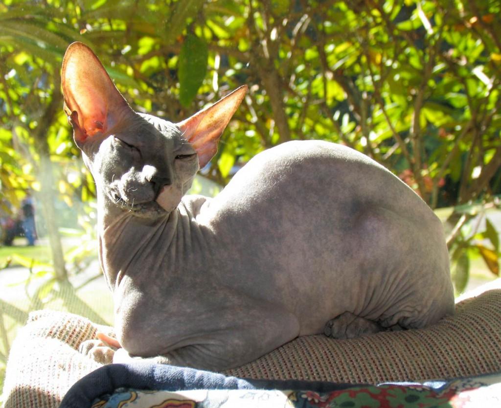 Peterbald mačka
