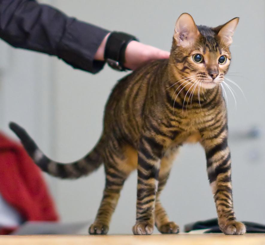 Toyger mačka