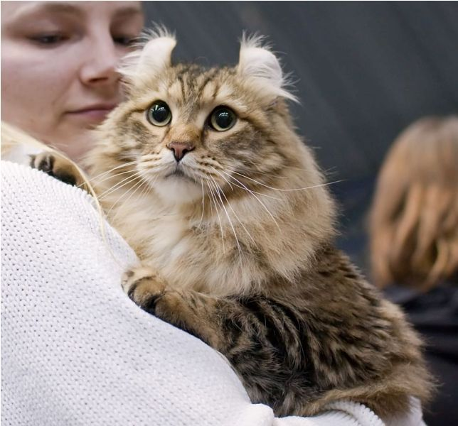 Ameriška dolgodlaka kodrasta mačka