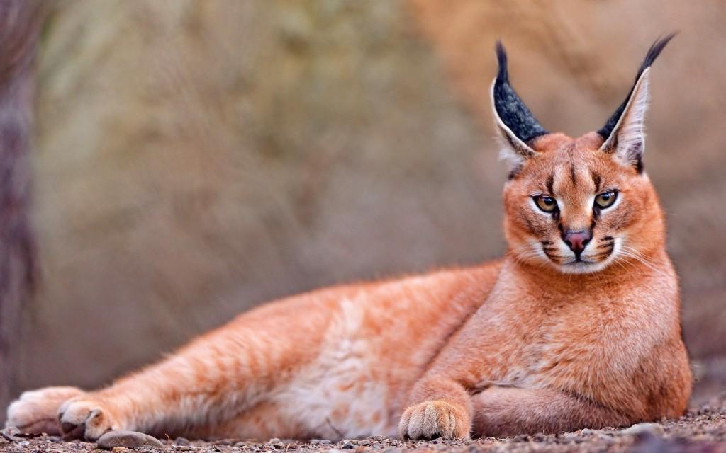 Karakal mačka