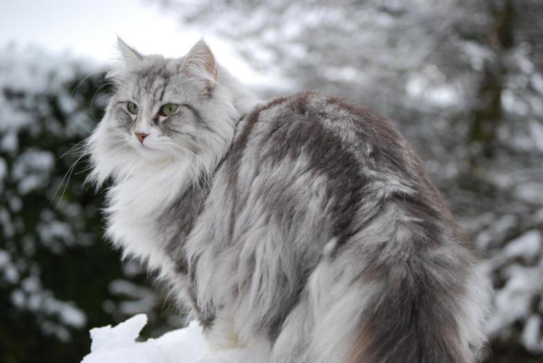 Norveška gozdna mačka