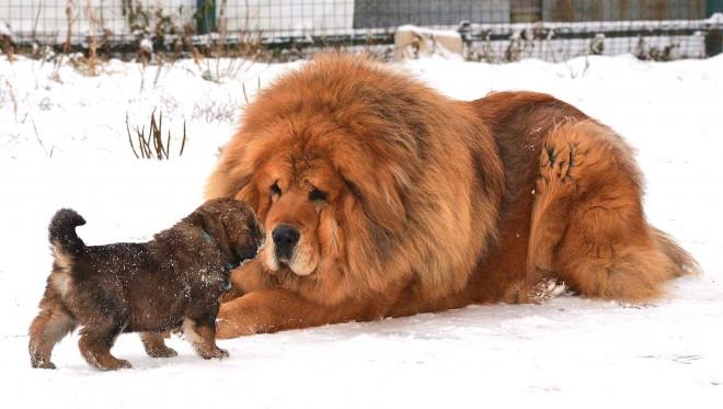 Tibetanski mastiff