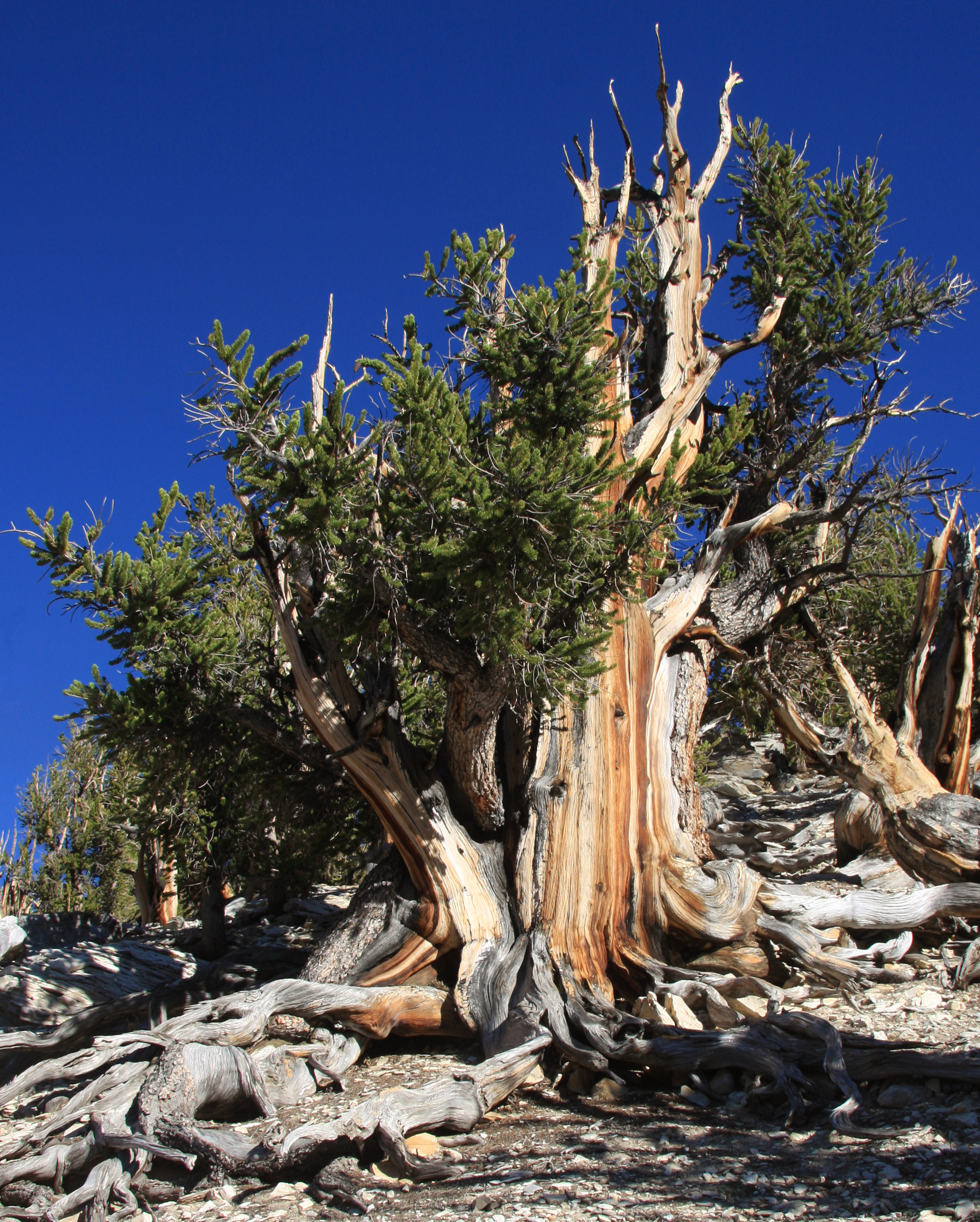 Dolgoživi bor je najdlje živeče drevo na svetu.