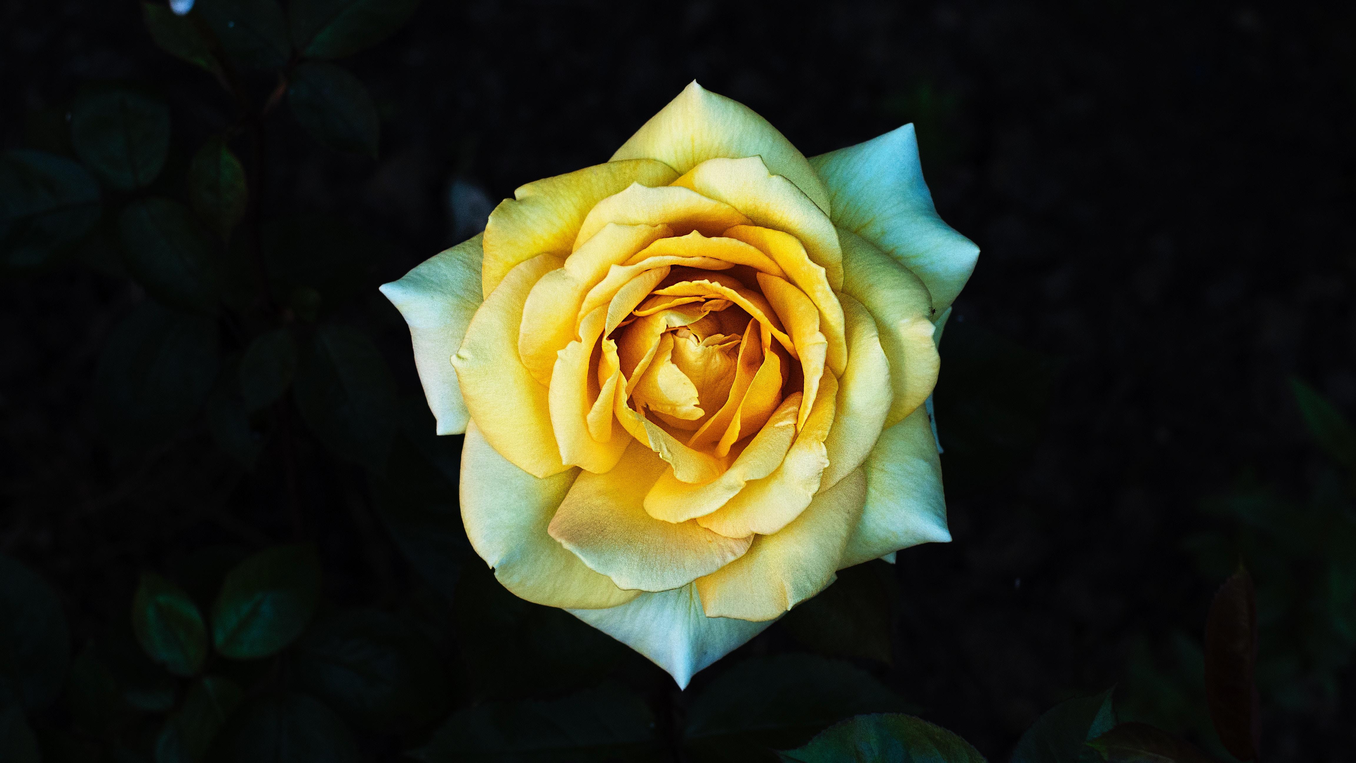 Prijatelju ne smete podariti rumenih rož.