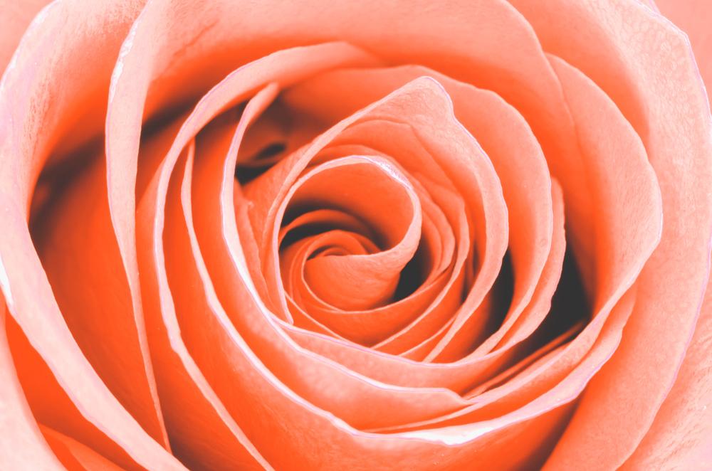 Vrtnice v barvi lososa