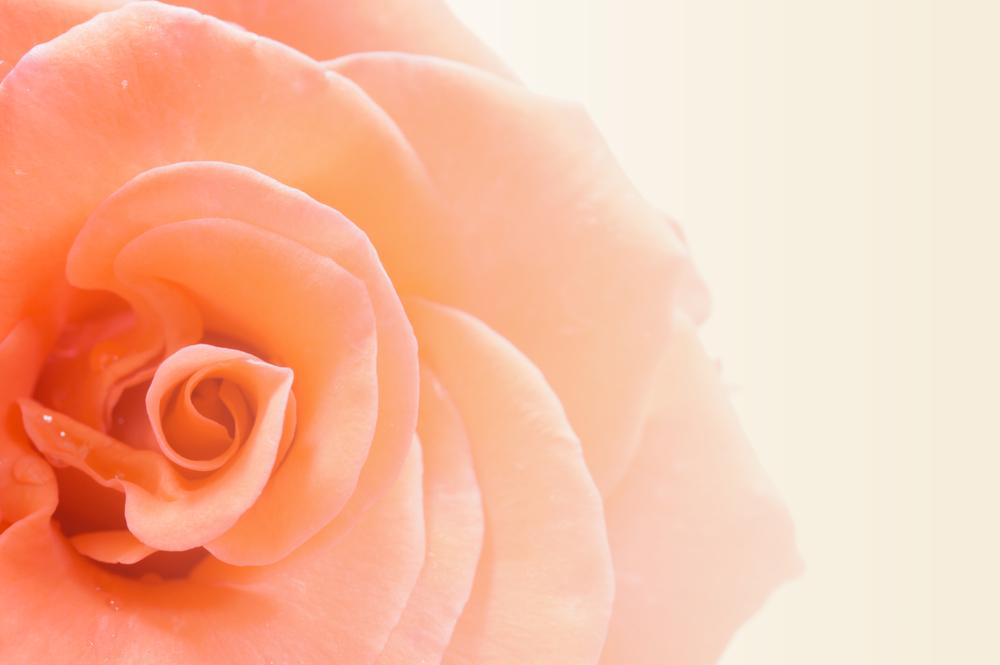 Vrtnice v barvi breskve