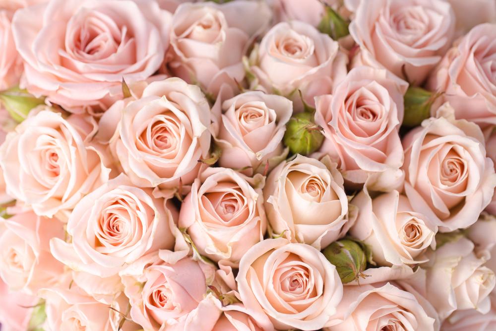 Svetlo roza vrtnice