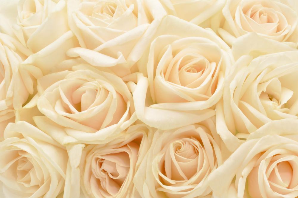 Vrtnice v kremni barvi