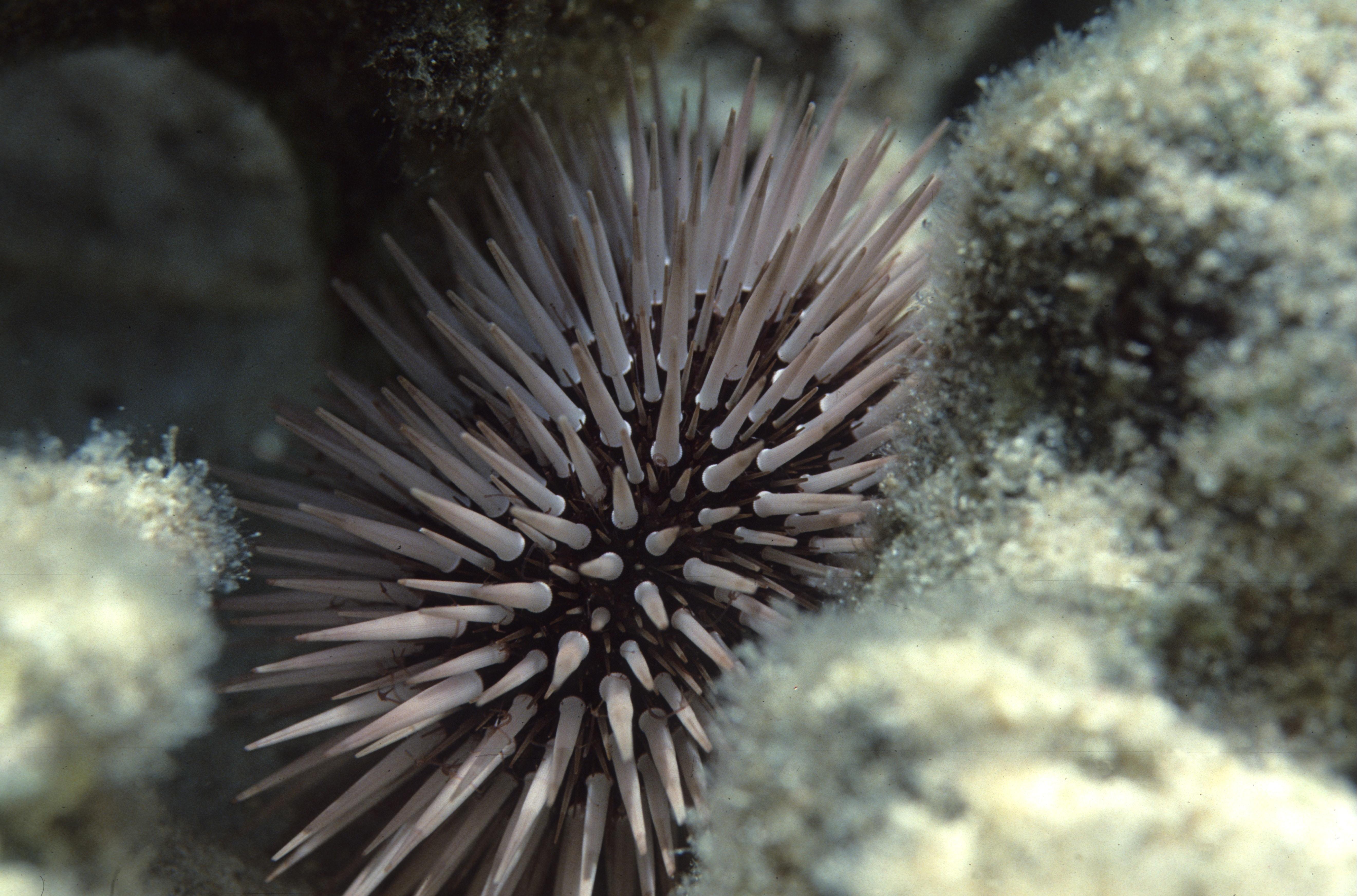 Kaj storiti, če stopiš na morskega ježka?
